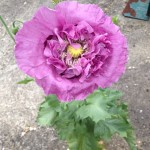 Stunning Papaver somniferum growing in a crack
