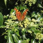Beautiful butterfly on Hedera helix