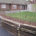 Newly planted hornbeam hedge